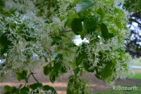 PiedmontPark_Tree