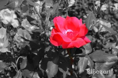 rose.b.w